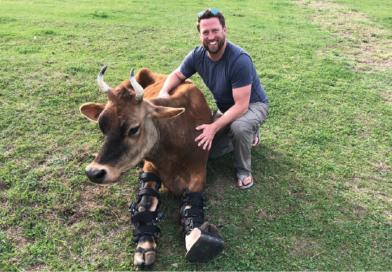 Protezy dla krów – to naprawdę działa!