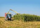 Kiedy zbierać kukurydzę nakiszonkę?