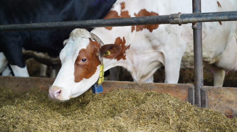 Witamina D może wzmocnić układ odpornościowy krów